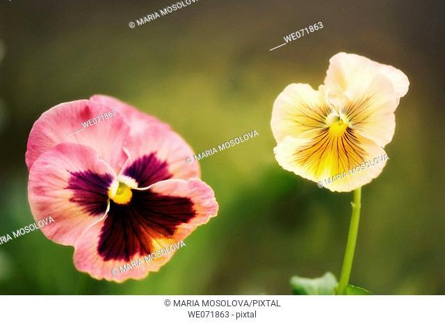 Two Pansy Flowers. Viola x wittrockiana. April 2007, Maryland, USA