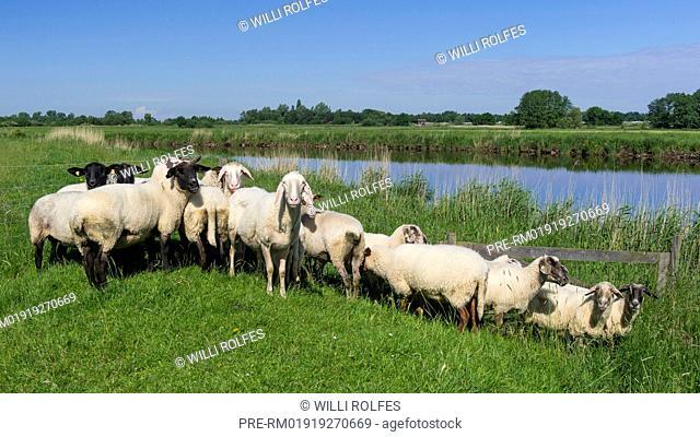 Flock of sheep at a levee of Jümme river, Landkreis Cloppenburg, Oldenburg Münsterland, Lower Saxony, Germany / Schafherde auf dem Deich an der Jümme