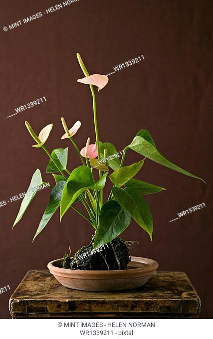 A houseplant, Anthurium with glossy green leaves and pink flower spikes growing in a pot