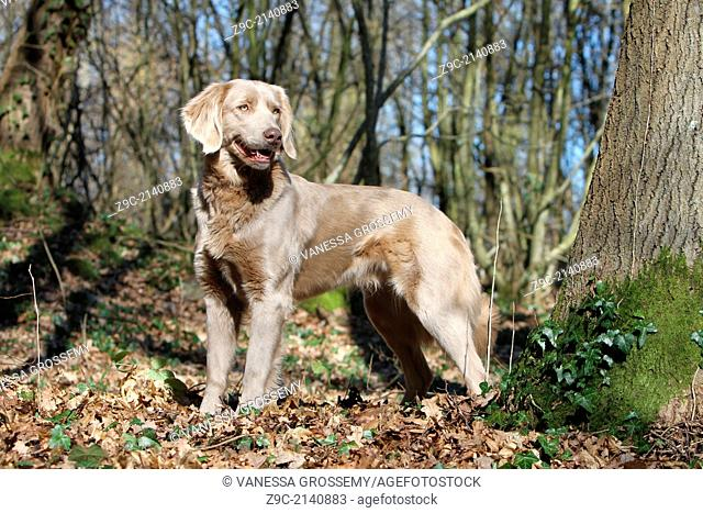 dog, Weimaraner, longhair, / adult standing in a forest