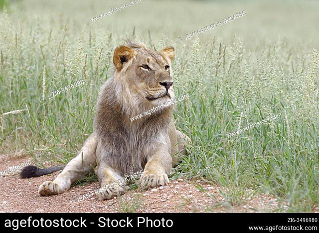 Black-maned lion (Panthera leo vernayi), adult male, lying on the side of a dirt road, observing, Kgalagadi Transfrontier Park, Northern Cape, South Africa