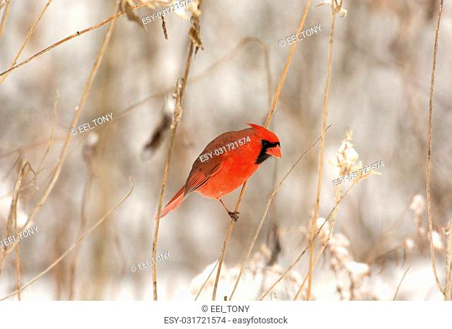 Male northern cardinal perched on a branch following a winter storm