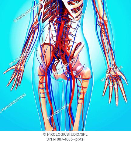 Human cardiovascular system, computer artwork