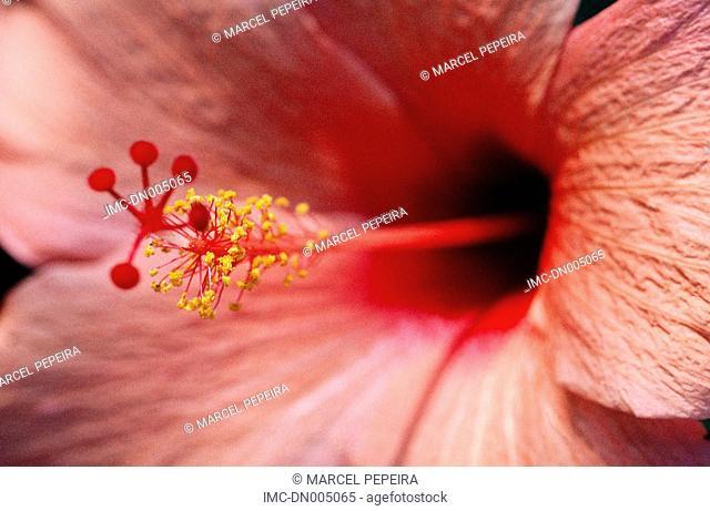 Mauritius, hibiscus flower