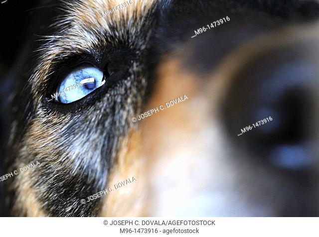 Blue eyed sheppard mix dog