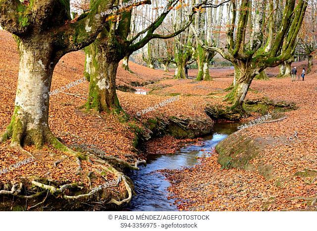 Beech wood of Otzarreta, Biscay, Basque Country, Spain