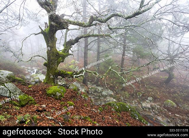 Oaks with moss, leaves, stream and fog at Graja gorge in Sierra de Gredos. Avila. Spain. Europe