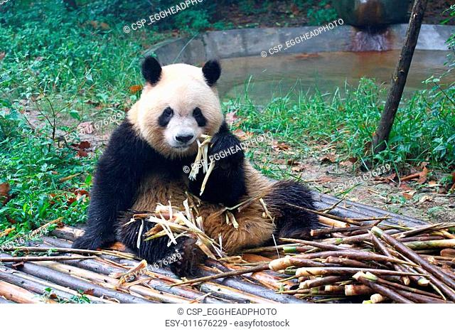 Giant panda eating next to a pile of fresh bamboo