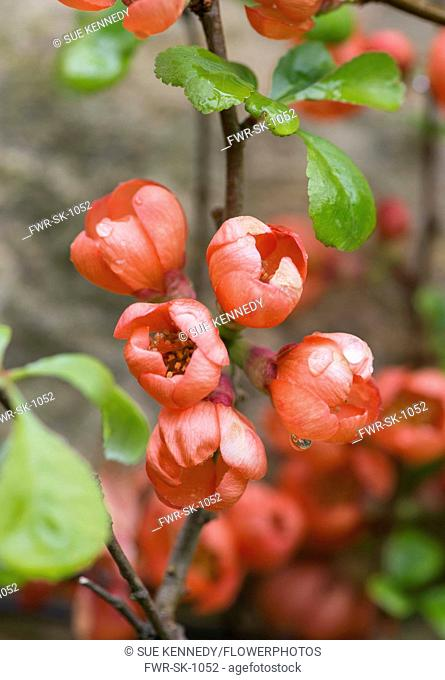 Quince, Flowering quince, Chaenomeles, Red flowers growing outdoor