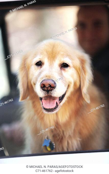 Golden retriever dog smiling at the camera