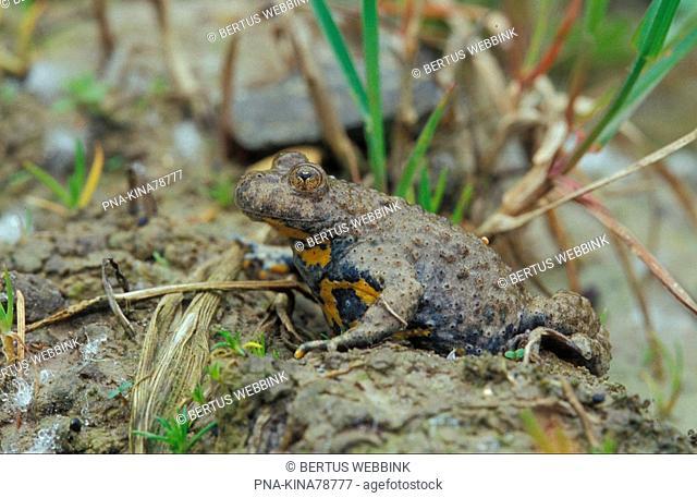 Yellow-bellied Toad Bombina variegata