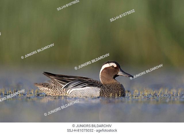 Garganey (Anas querquedula). Drake in breeding plumage on water. Germany