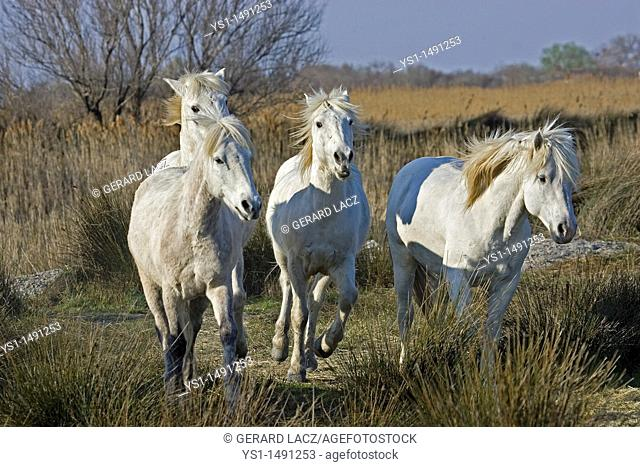 Camargue Horse, Herd standing in Swamp, Saintes Marie de la Mer in Camargue, in the South of France