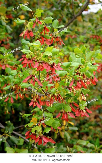 Syrian maple (Acer obtusifolium) is an evergreen shrub native to Syria, Israel, Lebanon, Turkey and Cyprus. Flowers, fruits (samara) and leaves detail
