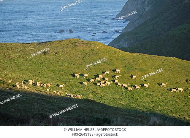 Point Reyes National Seashore, Marin County, California, USA, Tule elk (Cervus nannodes) cows on Tomales Point, Pacific Ocean in background, January