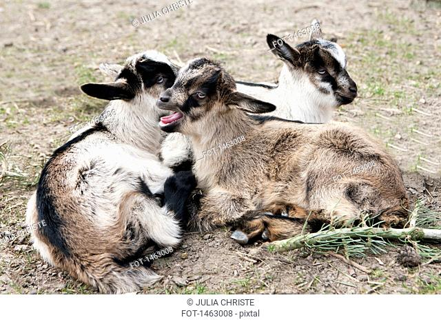 High angle view of goats relaxing on field