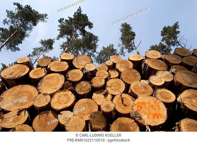 Stack of Wood in pine forest, Feldberger Seenlandschaft, Mecklenburgische Seenplatte district, Mecklenburg-Vorpommern, Germany / Holzstapel in Kiefernwald