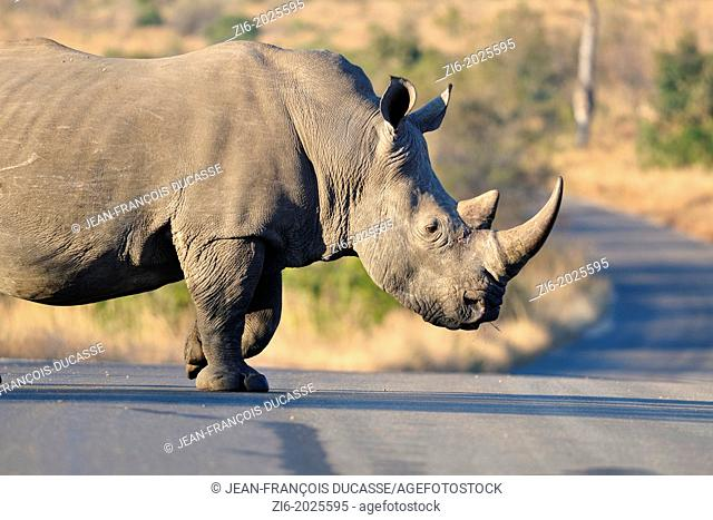 White rhinoceros, Ceratotherium simum, crossing the road, Kruger National Park, South Africa