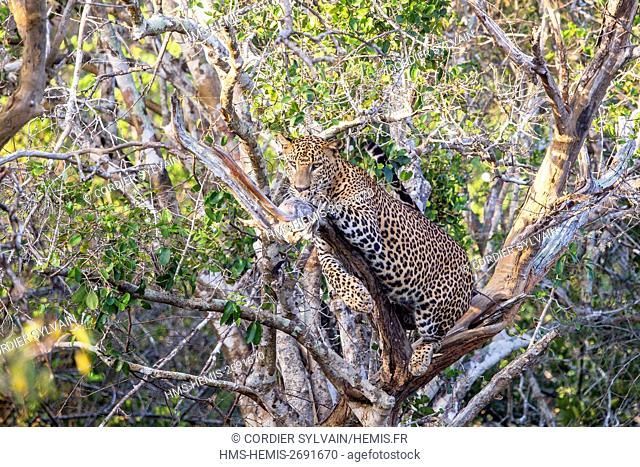 Sri Lanka, Yala national patk, Sri Lankan Leopard Panthera pardus kotiya), in a tree