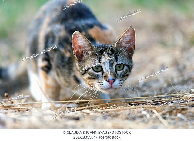 Stalking calico cat