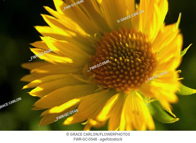 Gaillardia, Close up of yellow coloured flower growing outdoor