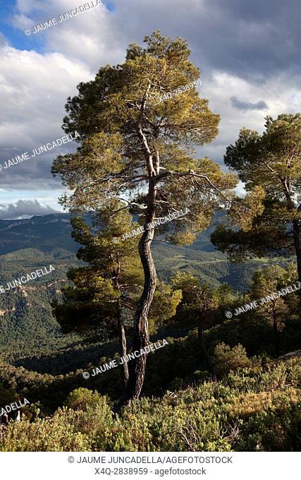 Pine Tree. Teruel Province