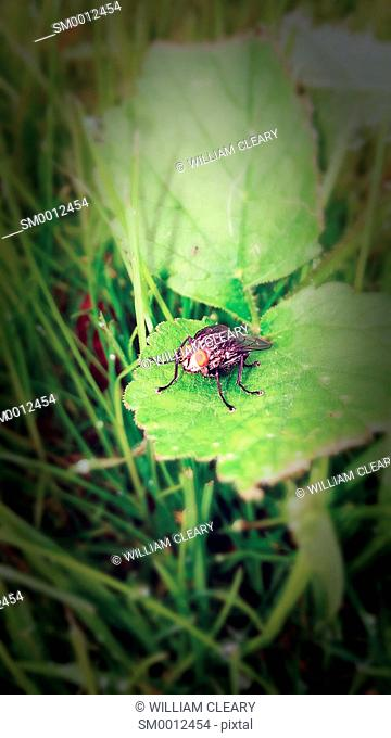 Blow fly resting on grass