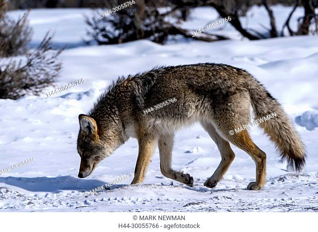 coyote in Yellowstone NP