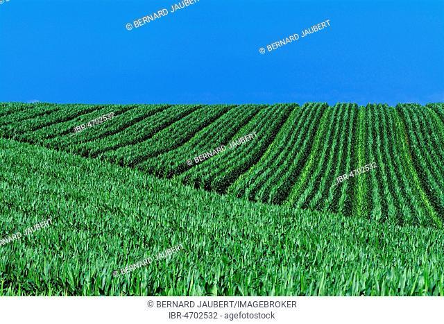 Green field of maize and blue sky, Liamgne plain, Puy de Dome department, Auvergne Rhône Alpes, France