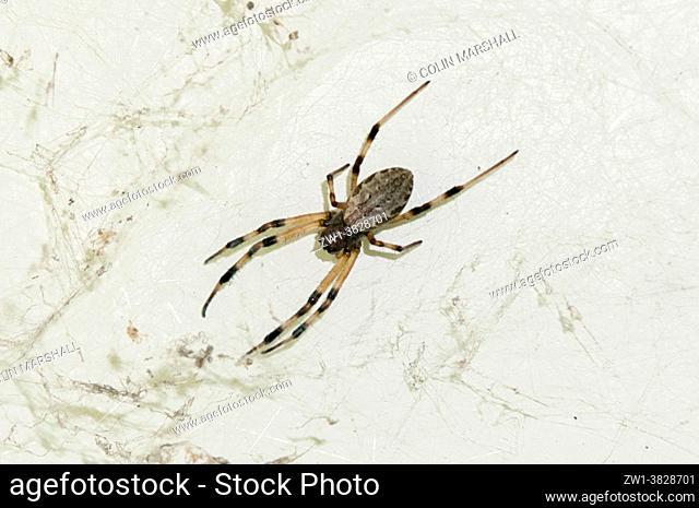 Female Araneid Spider (Nephilengys malabarensis), Klungkung, Bali, Indonesia