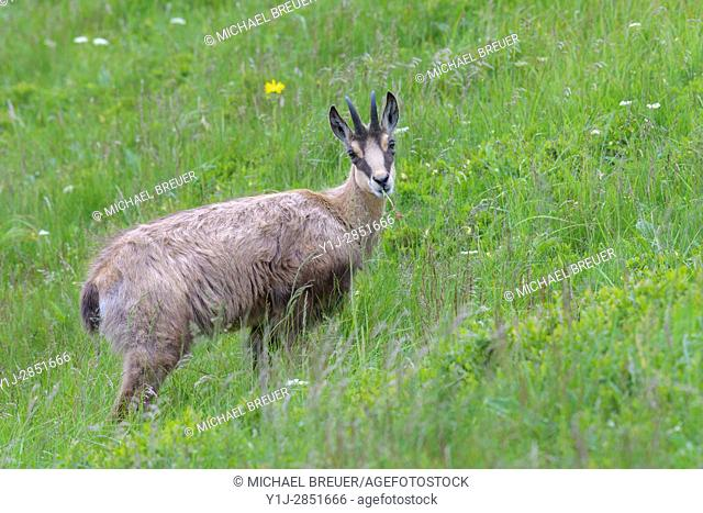 Chamois (Rupicapra rupicapra), Hohneck, Vosges, Alsace, France, Europe