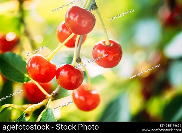 Red Ripe Berries Prunus subg. Cerasus on tree In Summer Vegetable Garden