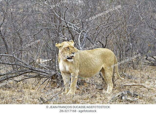 African lioness (Panthera leo), adult female, standing among shrubs, alert, Kruger National Park, South Africa, Africa