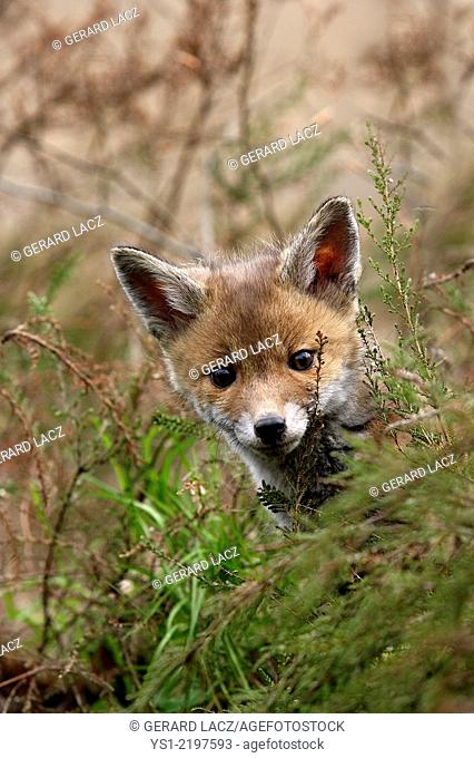 BABY RED FOX vulpes vulpes IN NORMADY