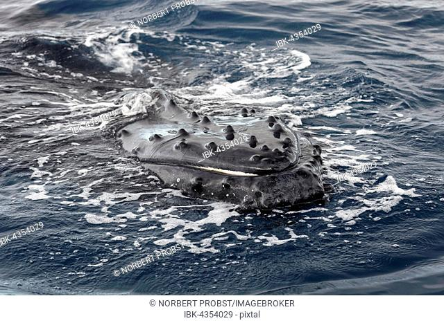 Humpback whale (Megaptera novaeangliae), floats on sea, mouth or skin with bumps protruding from the sea, Silver Bank, Silver and Navidad Bank Sanctuary