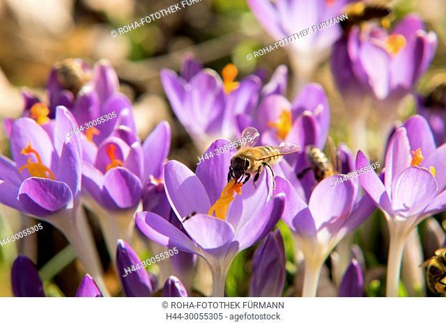 Bayern, Berchtesgadener Land, Rupertiwinkel, Natur, Blume, Krokus, blauer Krokus, Lila Krokus, Crocus, Frühling, Fruehling, Frühjahr, Fruehjahr, Blumenwiese