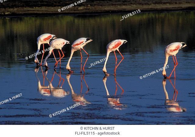 Lesser Flamingo, Lake Ndutu, Serengeti National Park, Tanzania, Africa