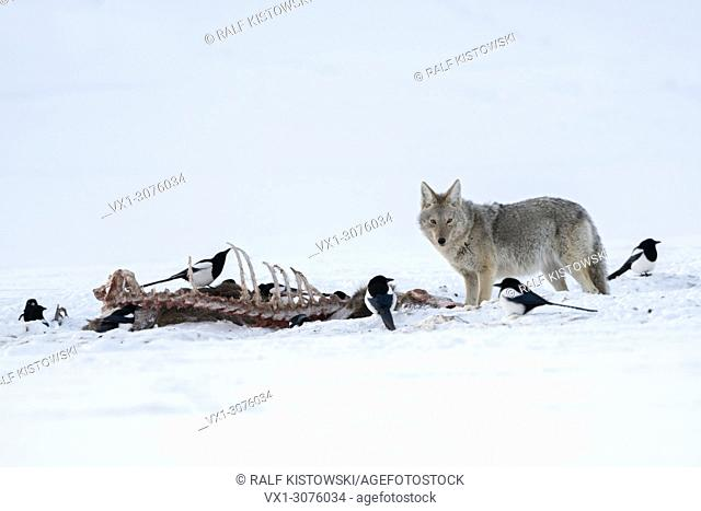 Coyote ( Canis latrans ) in winter, standing next to a carcass, probably a wolf kill, together with magpies in high snow, Yellowstone NP, USA.