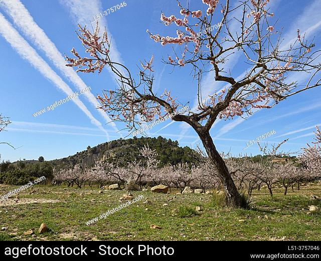 Almond tree blossom on a field in the mountains of Ludiente, Castellón, Spain