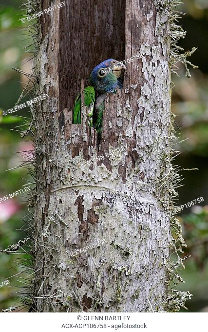 Blue-headed Parrot (Pionus menstruus) perched on a branch in the Amazon in Peru