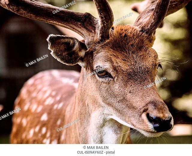 Portrait of deer, close-up, Aarhus, Denmark
