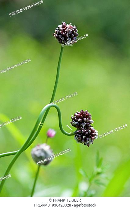 Wild garlic, Allium vineale / Weinberg-Lauch, Allium vineale