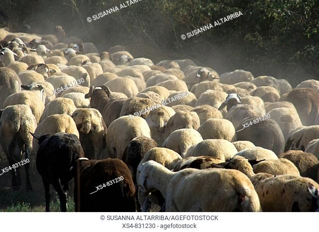 Flock of Sheep (Ovis aries) walking together along a way of mountain. Photo take in Pinós, el Solsonès, Lleida, Catalunya, Spain, Europe