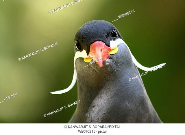 a humorous Inca tern Larosterna inca staring quizzically at the photographer