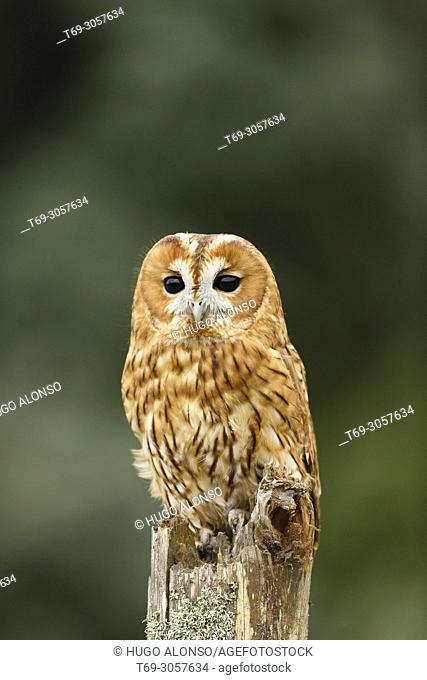 Tawny owl or brown owl. Strix aluco. Madrid. Spain