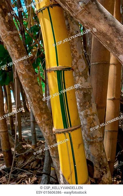 Single shoot of painted yellow bamboo