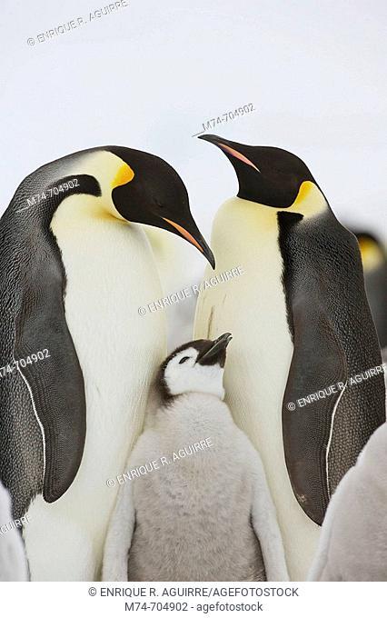 Emperor Penguin Aptenodytes forsteri with chick at Snow Hill Island, Weddel Sea, Antarctica