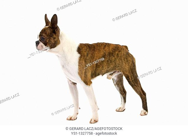 BOSTON TERRIER DOG, MALE AGAINST WHITE BACKGROUND