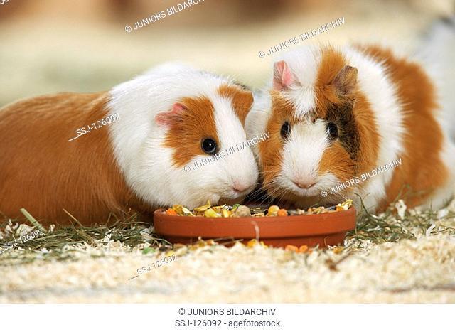 two guinea pigs - munching