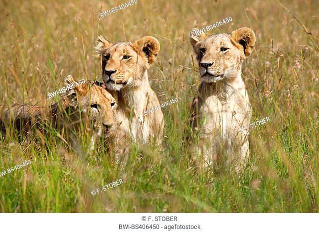 lion (Panthera leo), three juvenile lions, Kenya, Masai Mara National Park